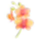 orchid apricot.png