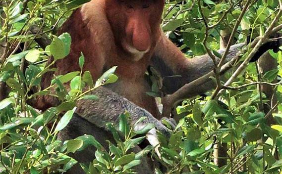 bako-national-park-proboscis-monkey-01j