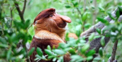 bako-national-park-proboscis-monkey-04j