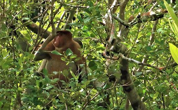 bako-national-park-proboscis-monkey-02j