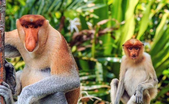 bako-national-park-proboscis-monkey-03j
