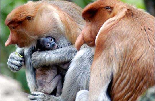 bako-national-park-proboscis-monkey-06j