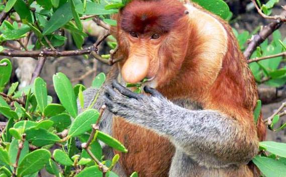 bako-national-park-proboscis-monkey-05j