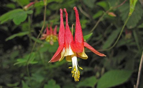 Eastern Red Columbine (Aquilegia canadensis)