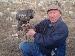 The Falcon and the sage grouse (and an English Setter named Freckles)