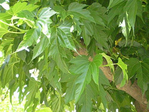 Taille murier platane quand prparation du stock de - Fruit du murier platane ...