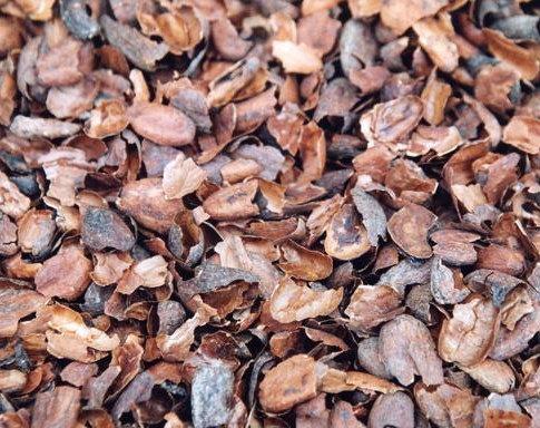 Coques de cacao