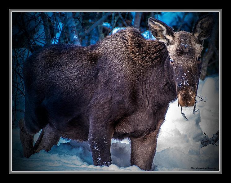 Ak Moose 4