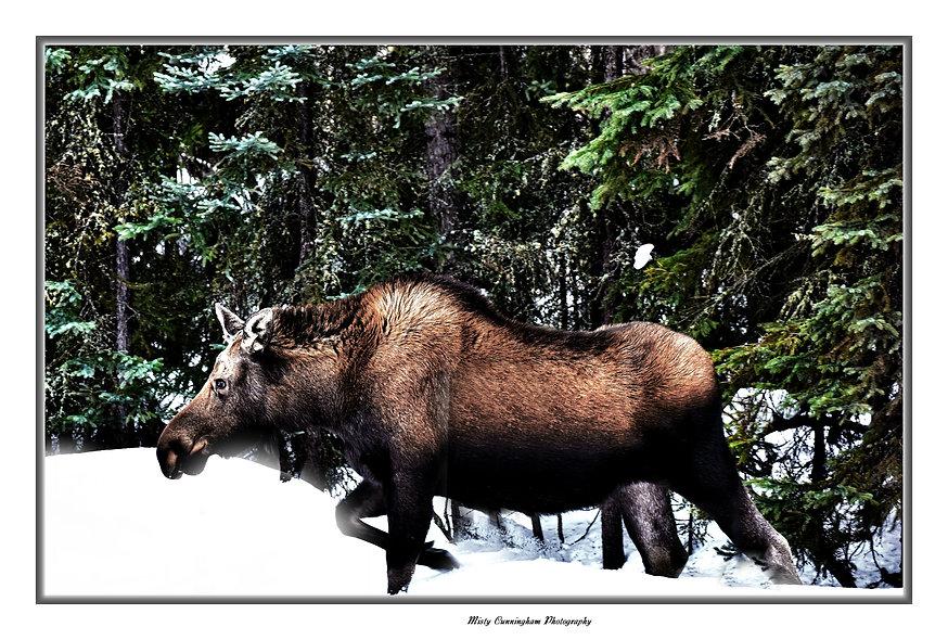 Ak Moose 5