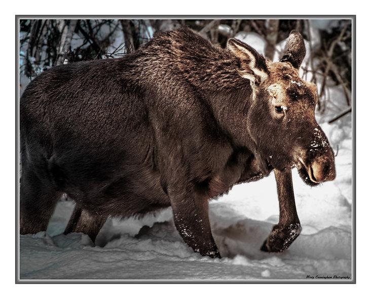 Ak Moose 1