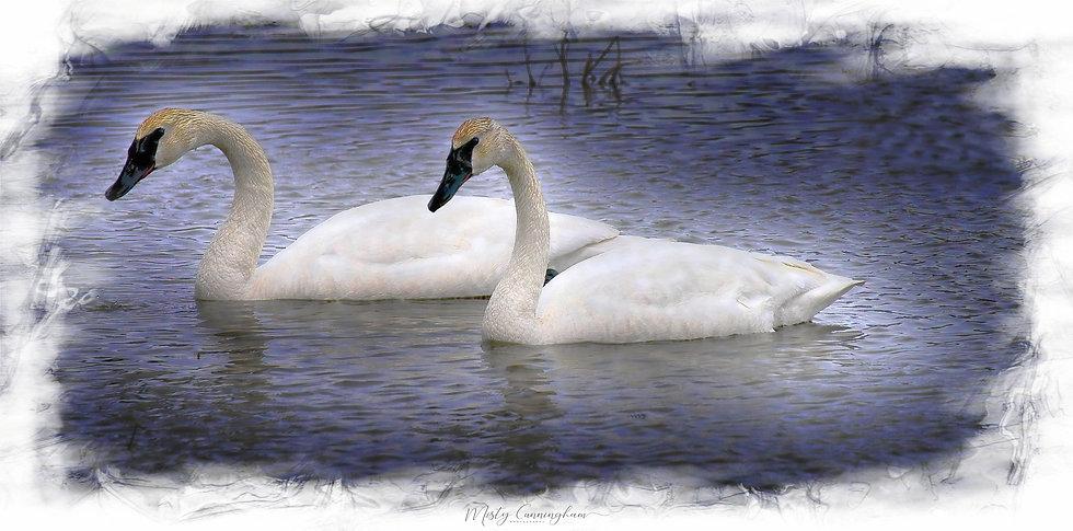 Ak Swans