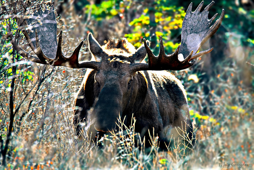 Ak Bull Moose
