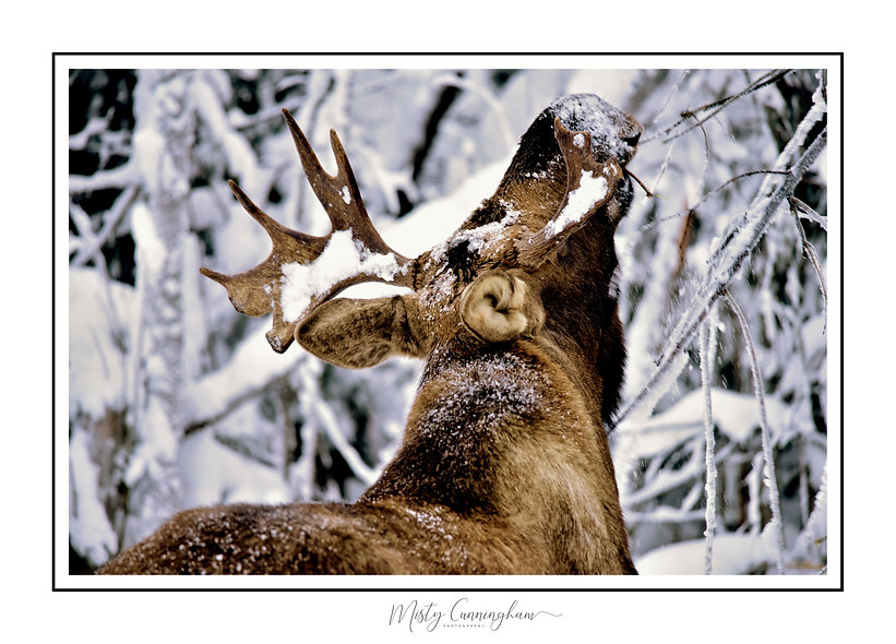 Winter moose 3