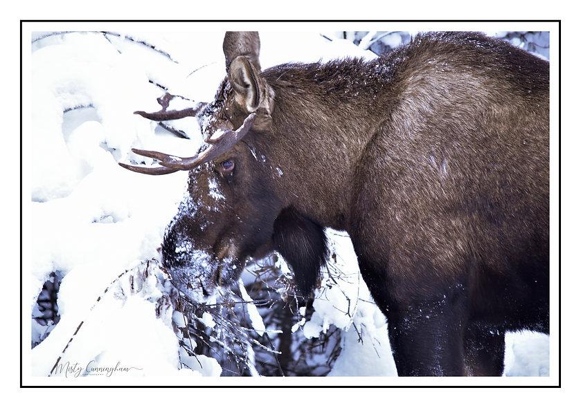 Winter moose 2