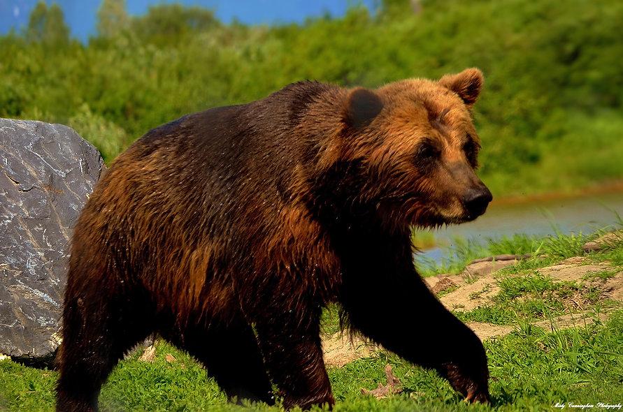 Ak Bear b1