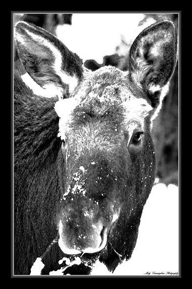 Ak Moose 3