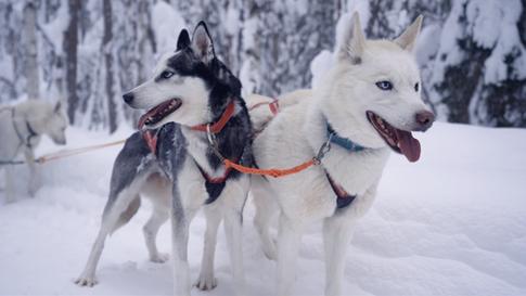 Husky and Yoga Nature Lapland