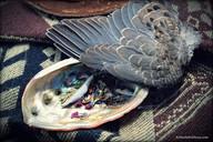 shell-sacred herbs-wing.jpg