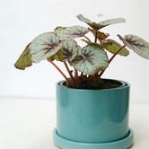 begonia rex + cilindro