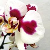 la belleza de la orquídea