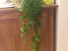 お店の植物