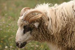 Ferdinand breeding ram