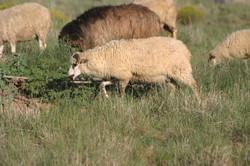 Tahlulia and Patrick ram lamb