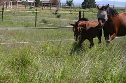 Horses on summer range