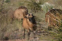 Five horn traditional  lamb