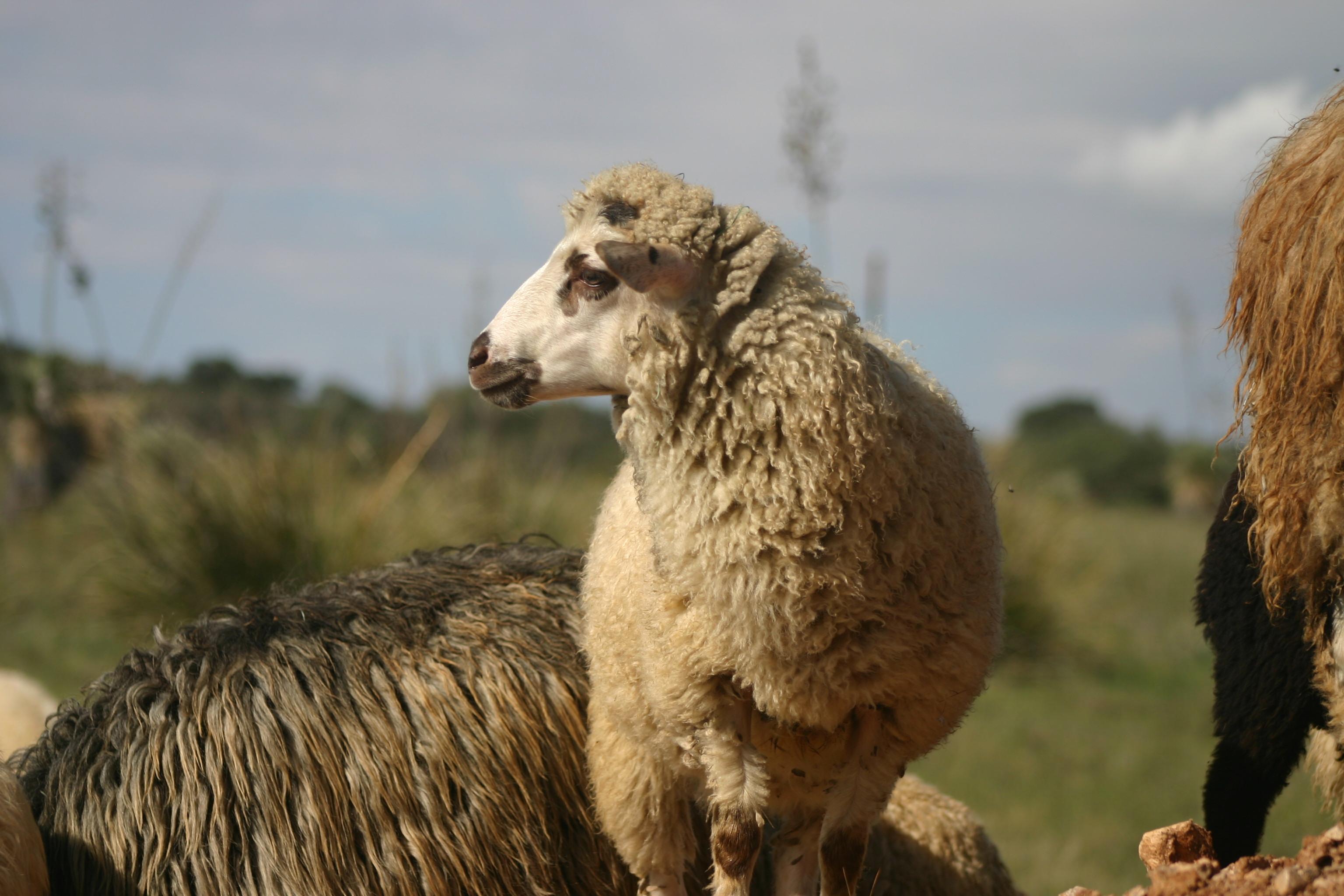 2016 ewe lamb