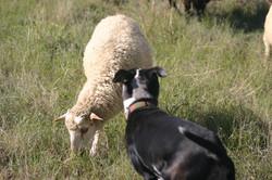 Zulu our Catahoula sheep dog