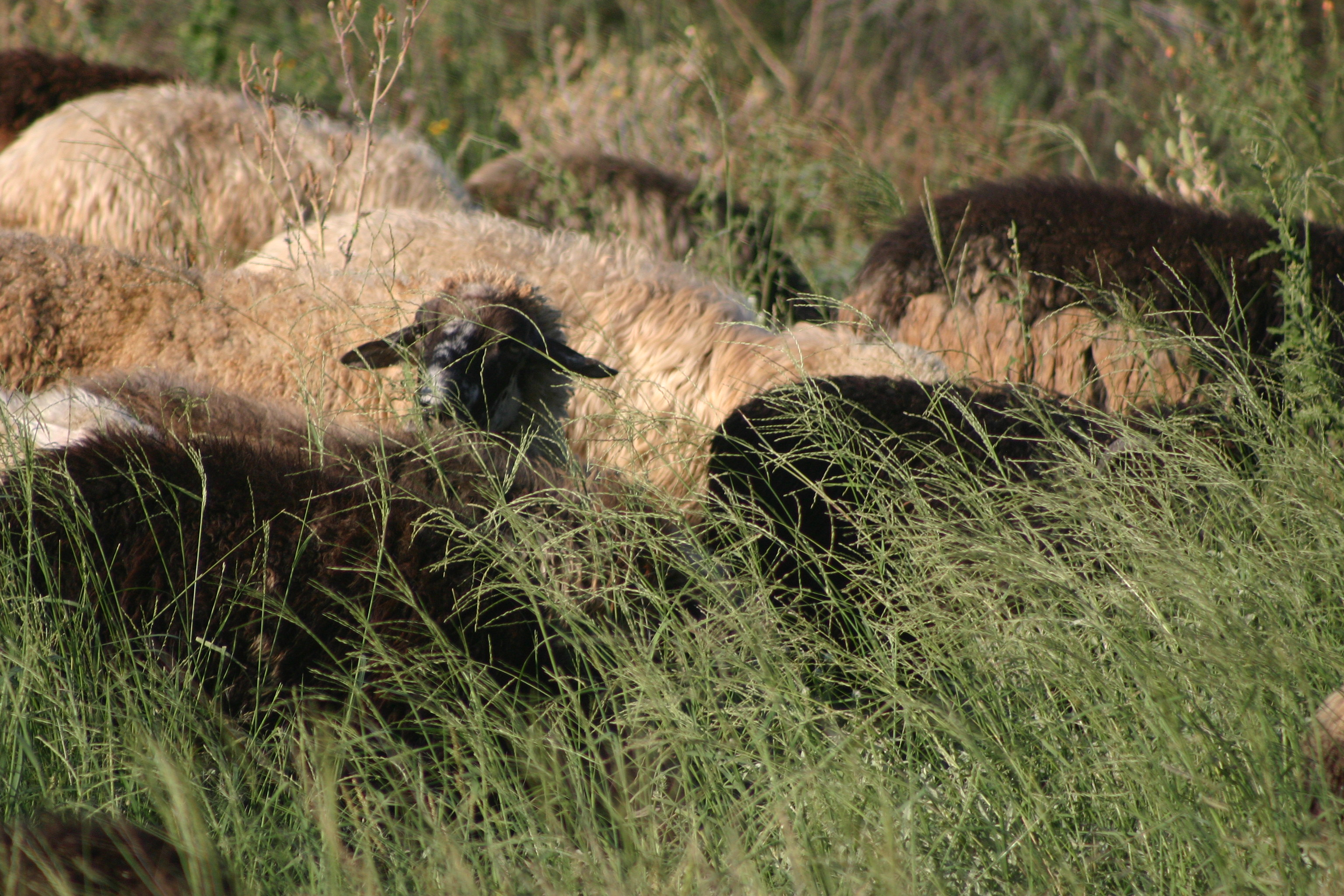 Sheep on summer range grass