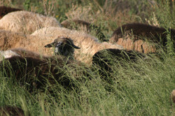 Sheep on summer range grass