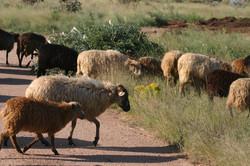 Ewes out on summer range