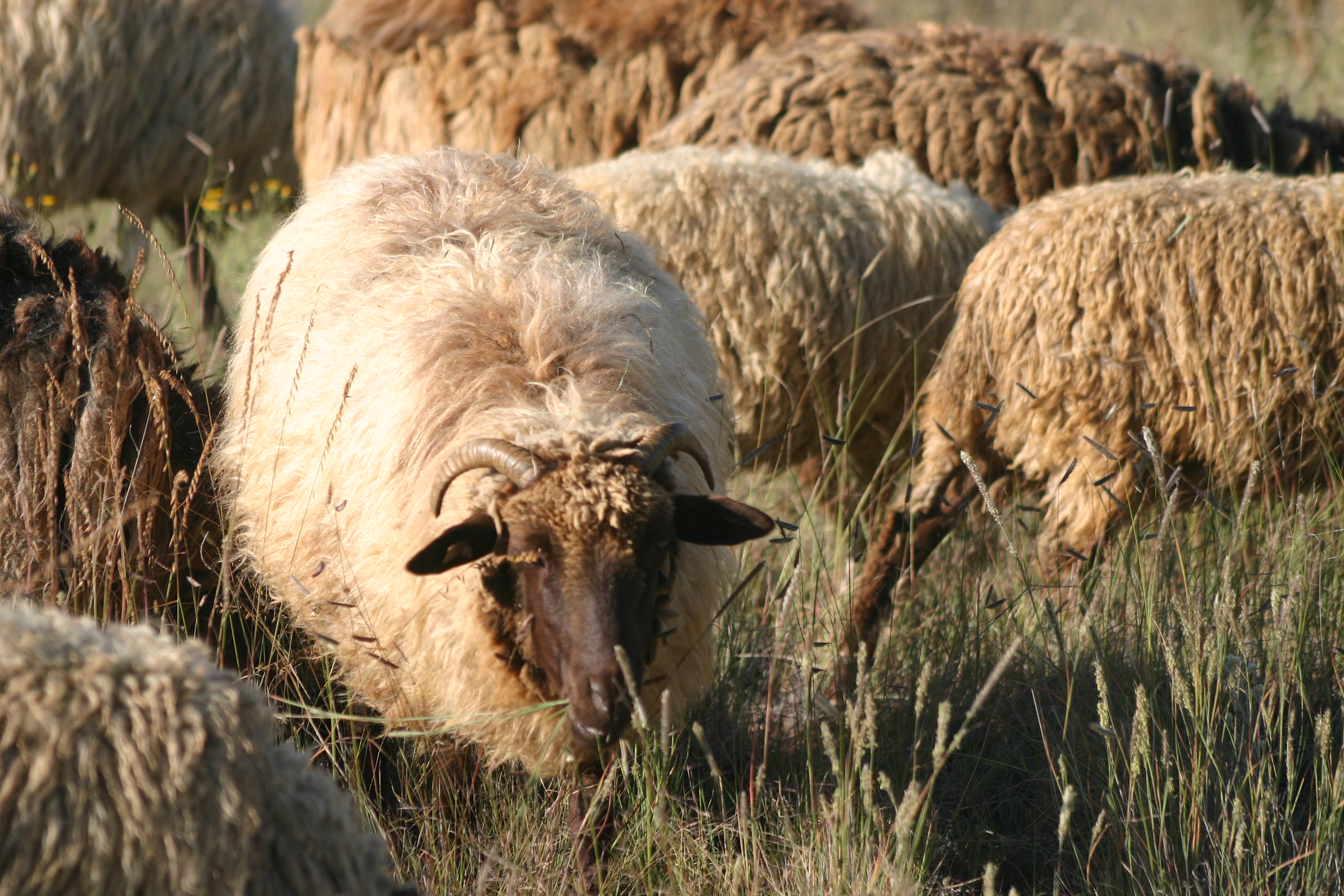 breeding ewe