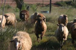 Sheep coming home