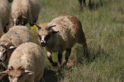 2016 ram lambs