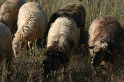 2016 lambs