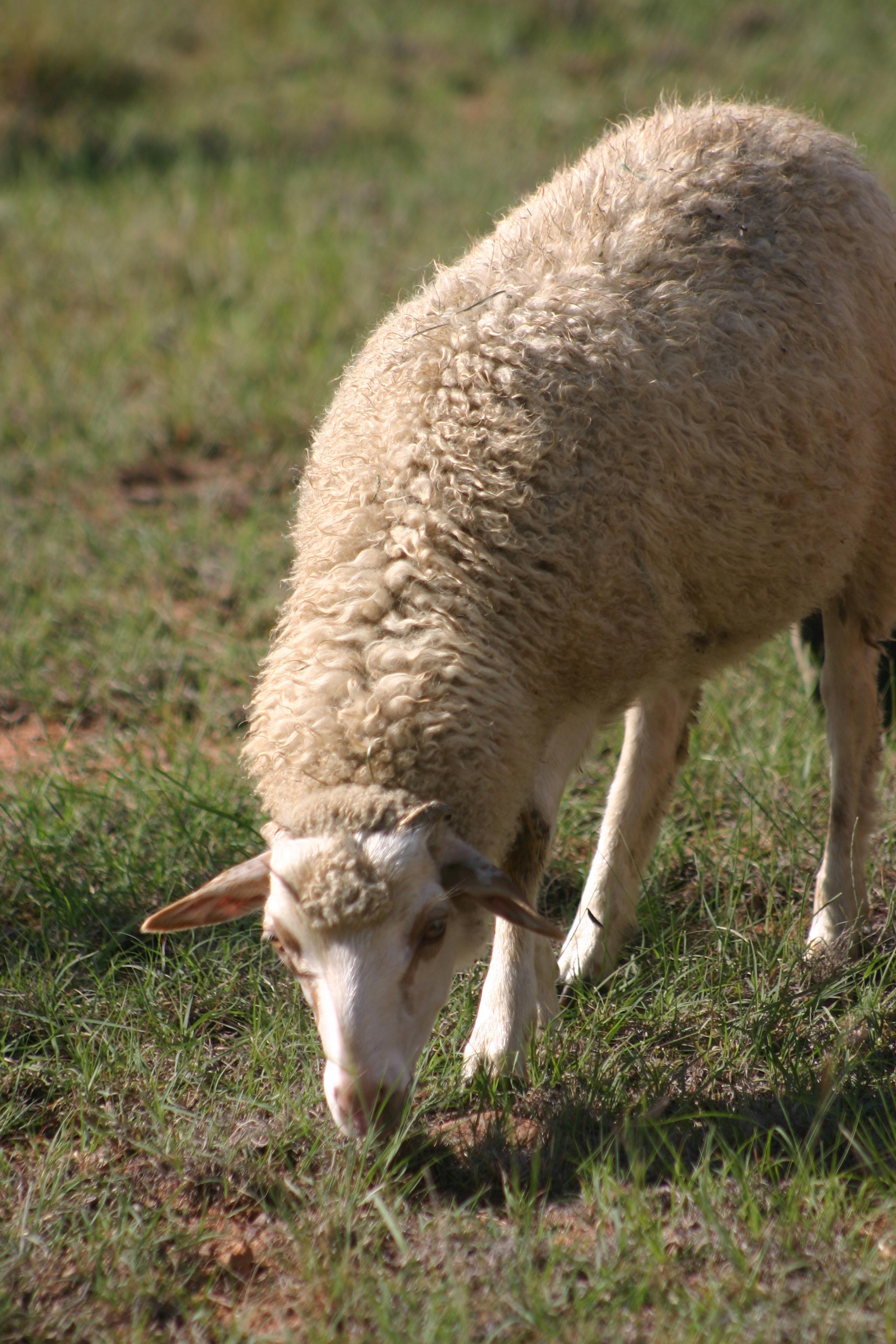 2016 ram lamb