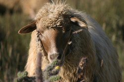yearling breeding ewe