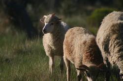 Ram Lambs