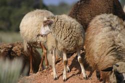 Juaquinne ram lamb