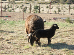 Wild Thing and ewe lamb out of Zorro