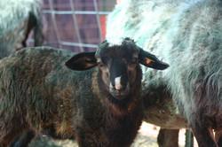 Tahlulia as a lamb - Maggie/Zorro