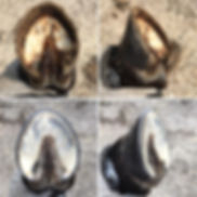 Cadaver foot of shetland pony.jpg