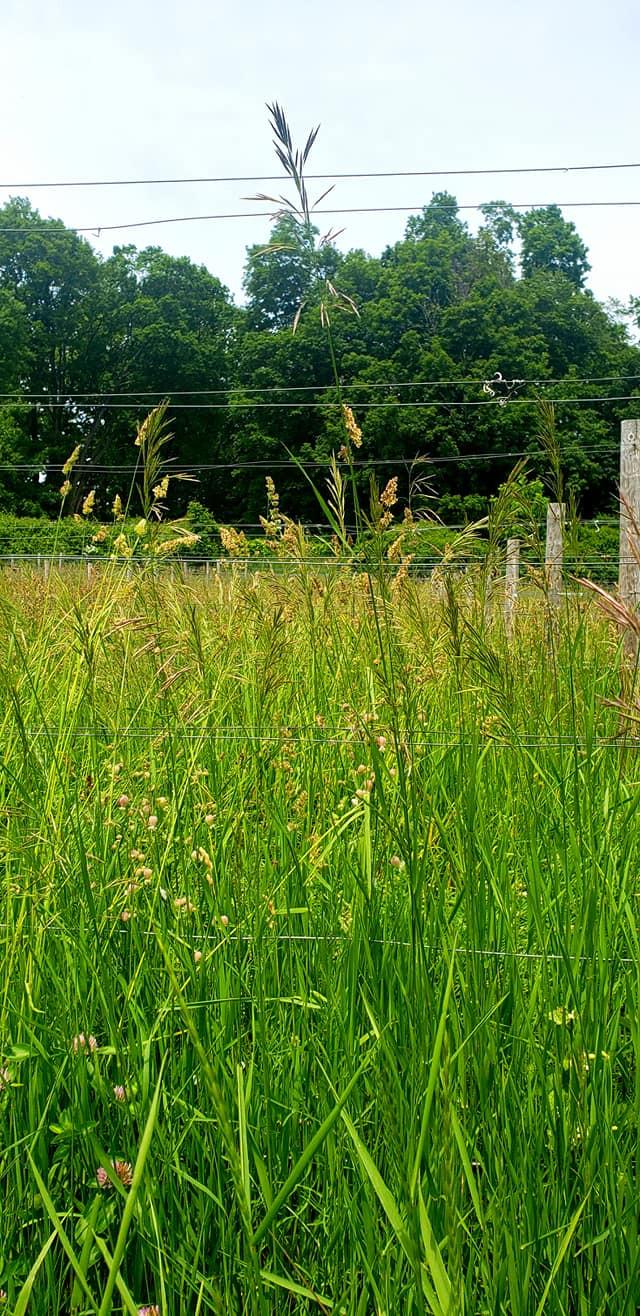 Grass as tall as grape trellis