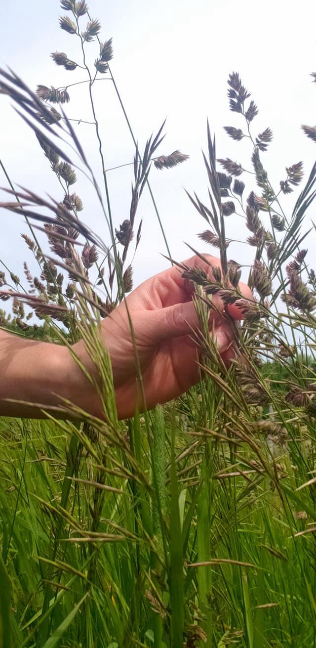 grass in a sustainable vineyard, Waterfire Vinyards