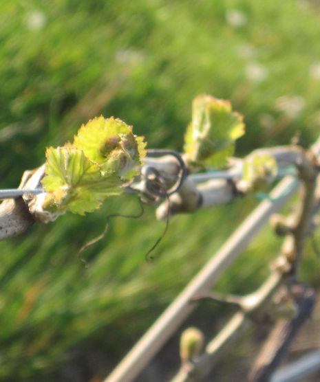 Through the grape vine