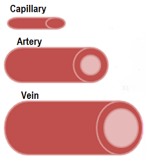Adaptations of Blood Vessels