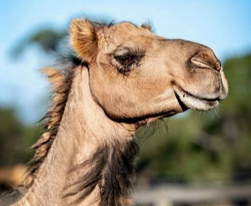 Book Camels to your Zoom Meeting 20 mins
